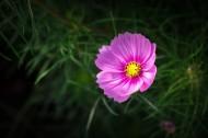 粉色波斯菊圖片_12張