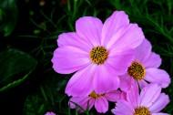 淡紫色波斯菊圖片_9張