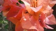 三角梅花卉图片_6张