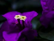 深紫色三角梅图片_6张