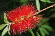 紅千層花卉圖片_8張