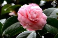 粉色山茶花图片_10张