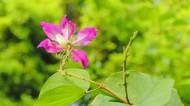热闹的紫荆花图片_10张