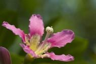 盛開的紫荊花圖片_5張