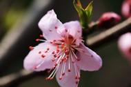 樱桃花图片_9张