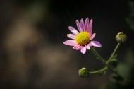粉色雏菊图片_11张