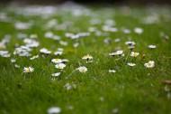 草地上的雏菊图片_9张