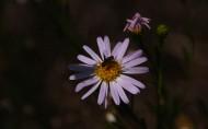 紫色小雏菊图片_9张