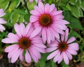 各类色彩的雏菊图片_18张