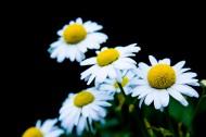 白色雏菊图片_11张