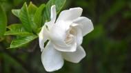 纯洁的白色栀子花图片_14张