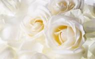 纯洁高贵的白玫瑰图片_22张