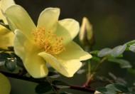 黄色刺玫花图片_11张