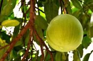 未成熟的柚子图片_6张