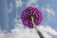 漂亮好看的紫色葱花图片_16张
