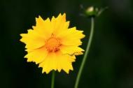 黄色的金鸡菊图片_8张