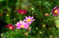 多色波斯菊花卉圖片_7張