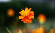 橙色硫華菊花卉圖片_9張
