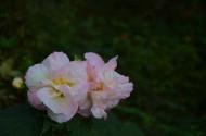 木芙蓉花卉圖片_9張