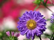 各种颜色的翠菊图片_18张
