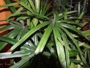粗棕竹植物图片_6张
