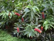 闭鞘姜植物花朵图片_9张