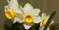 洁白的水仙花图片_7张