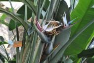 大鹤望兰植物花朵图片_1张