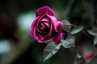 带刺的玫瑰图片_5张