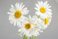 怒放的白色雏菊图片_20张