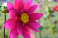 盛开的紫色大丽花图片_14张