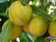 蛋黄果植物果实图片_6张
