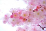 淡雅清新的櫻花圖片_12張
