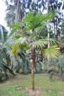 大崖棕植物图片_2张