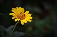 黄色野菊花图片_12张