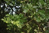 吊瓜樹植物圖片_4張