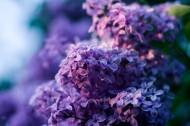 紫色丁香花图片_20张