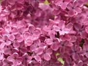 盛开的紫色丁香花图片_18张