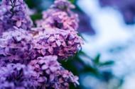 秀美的紫色丁香花圖片_15張