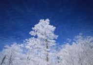 冬季樹木圖片_26張