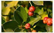 冬青树图片_6张