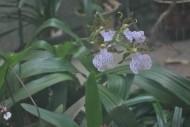 兜兰花朵图片_2张