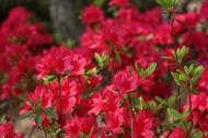 盛开的红色杜鹃花图片_11张