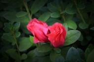 红色和淡粉色的杜鹃花图片_9张