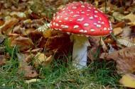 颜色鲜艳的毒蘑菇图片_16张