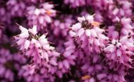 紫色欧石楠花卉图片_10张