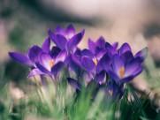 美丽的番红花图片_10张
