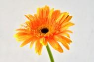 各種顏色的非洲菊圖片_19張
