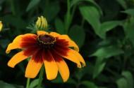 黃色非洲菊圖片_6張