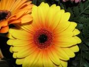 多种颜色的非洲菊图片_13张